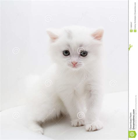 tiny white small white cat royalty free stock photography image 11985047
