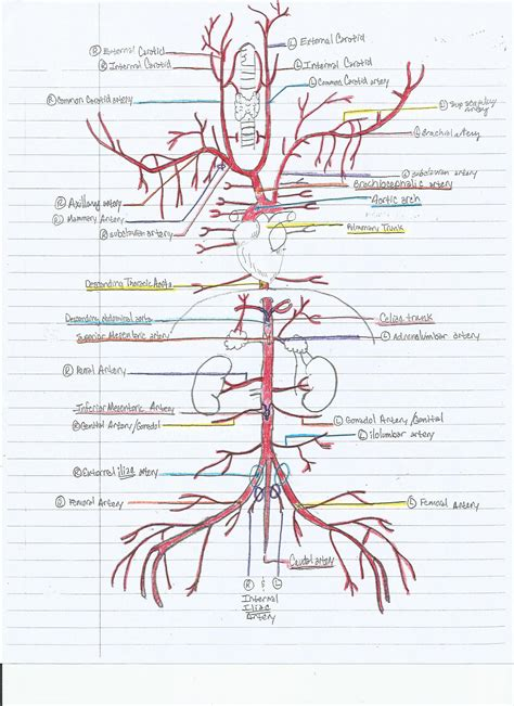 diagram of the arteries cat abdominal arteries diagram anatomy list