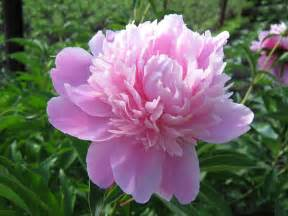 Peony Flowers pink peony flowers hd images hd wallpapers