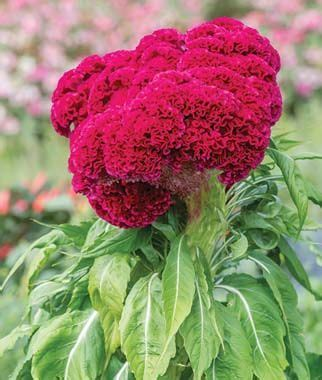 Velvet Garden Flowers Velvet Celosia Seeds And Plants Annual Flower Garden At Burpee