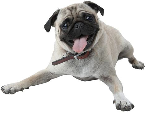 pugs in china what is the average expectancy of a pug puppy care the daily puppy
