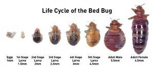 how fast do bed bugs grow what do bed bugs look like bed bugs dead bugs