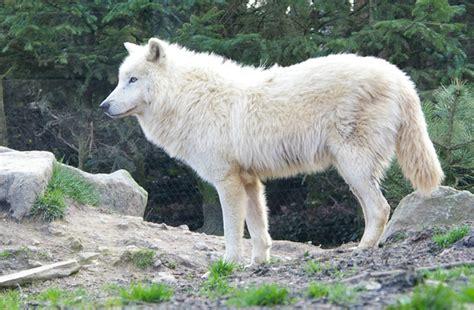 1325307793 loups et louveteaux du canada le loup du canada