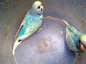 parakeet colors hartini bird bettas january 2011