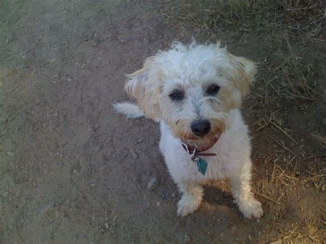 poodle terrier mix puppies poodle terrier mix puppy www imgkid the image kid has it
