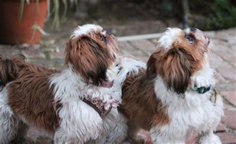 grown up shih tzu shih tzu breed information and pictures