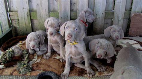 weimaraner puppies rescue blue weimaraner puppies for sale in breeds picture