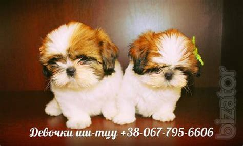 the shih tzu club club puppies shih tzu buy on www bizator