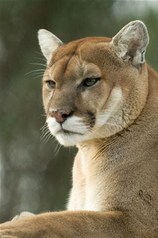interesting facts about cougars (mountain lions)