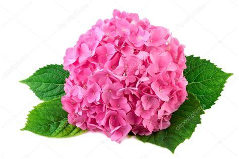 fiore ortensia fiore di ortensia rosa con foglia verde su bianco foto