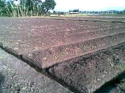 Benih Bibit Semangka Inul Repack Cap Panah Merah budidaya tanaman daun seledri yang baik dan benar lmga agro toko grosir harga murah