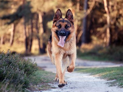 german shepherd dogs animals german shepherd dogs
