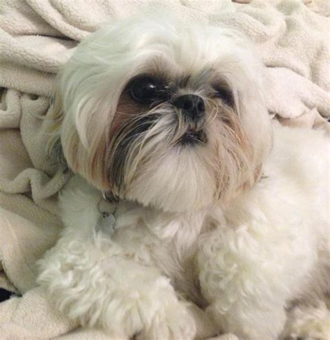 shih tzu breeders in md shih tzu puppies in maryland assistedlivingcares