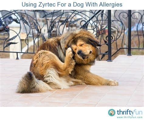 cetirizine for dogs using zyrtec for a with allergies thriftyfun