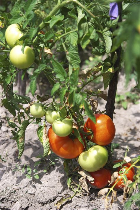 can dogs tomatos pet poison helpline tomatoes and dogs