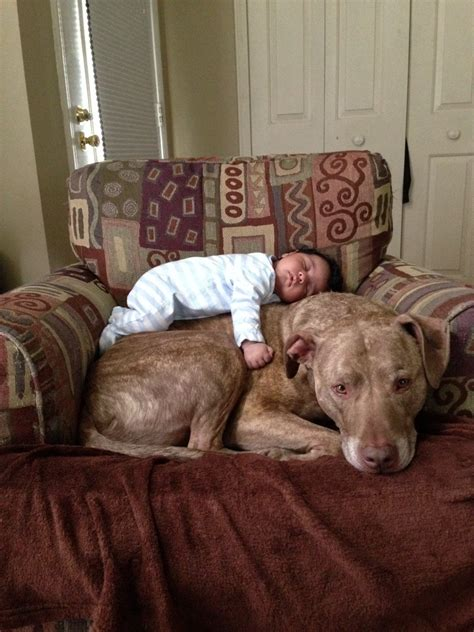 baby pitbull puppies a baby and a 125lb pit bull aww