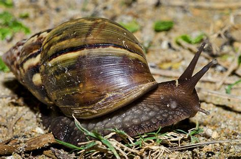 terrestrial snail pictures about animals terrestrial giant land snail from madagascar achatina
