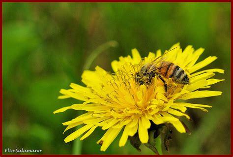 fiore di tarassaco ape su fiore di tarassaco foto immagini macro e