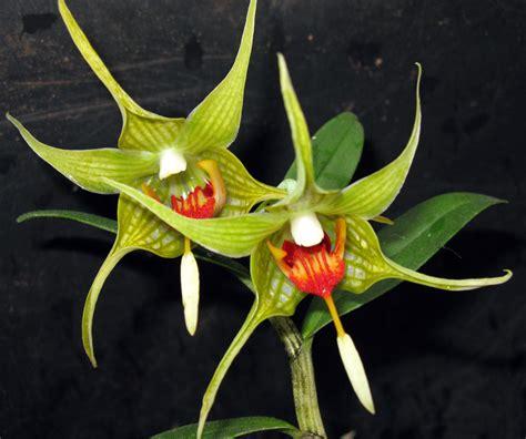 Dendrobium Tobaense gro 223 r 228 schener orchideen