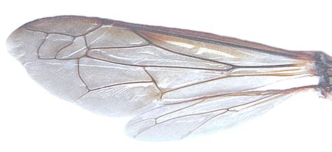 the wings of an insect are attached to this section bee wings png google search video bee pinterest