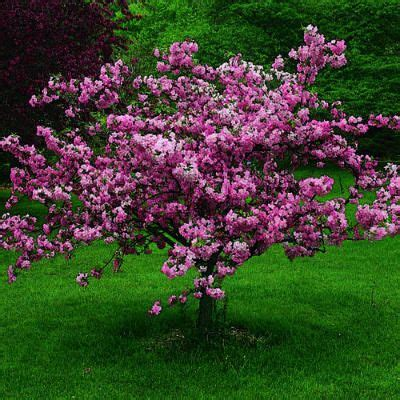 small pink tree top 10 trees for small spaces plants flower and
