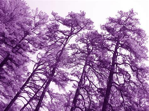 purple tree purple trees by erepublic on deviantart