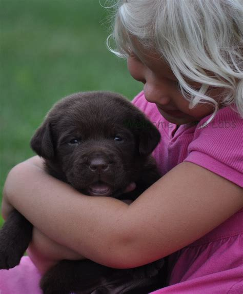 puppies for sale minneapolis the 25 best labrador puppies for sale ideas on labrador pups for sale
