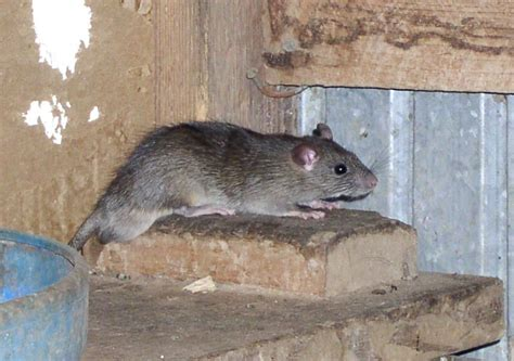 Texas Ranch Homes rats rodent populations proliferate in some parts of