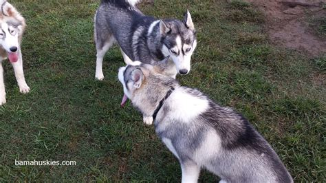 siberian husky puppies for sale in alabama rylee reunites with puppies 171 siberian husky puppies for sale siberian husky