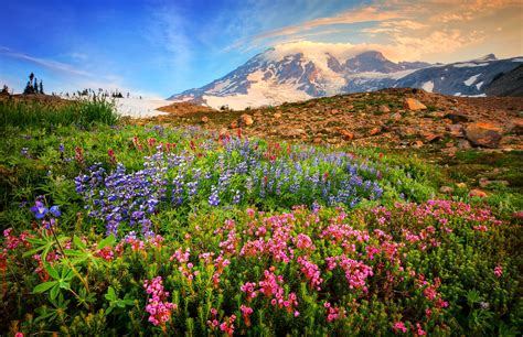 wildflower background mountain wildflowers hd wallpaper and background