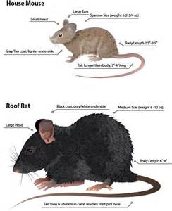 whats the difference between rats and mice dark brown hairs