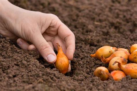 Comment Planter L Oignon by Planter Les Oignons Gamm Vert