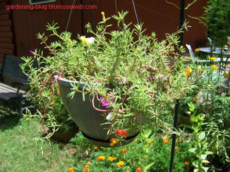Knoxville Home Design And Remodeling Show 2015 Garden With Annual Moss Rose Amazon Com Flower Seeds