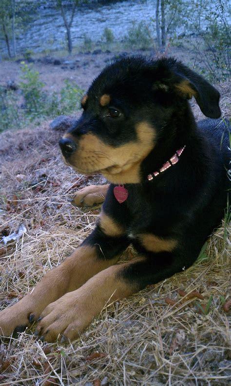 2 week rottweiler puppy file 10 week rottweiler puppy rottweiler 2 jpg