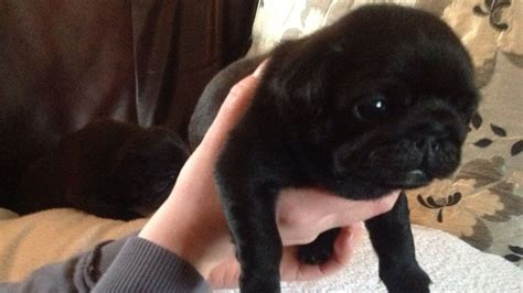 pug show dogs show quality pug puppy sire golbourne sowerby bridge west pets4homes