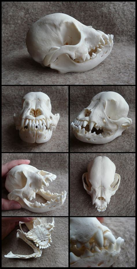 juvenile french bulldog skull by cabinetcuriosities on