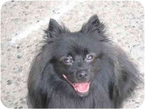 spitz and pomeranian mix benny adopted sonal raritan nj spitz unknown type small pomeranian mix