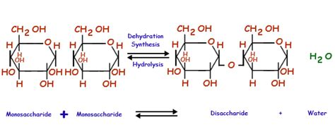 dehydration synthesis definition cell metabolism types of cell metabolism biology