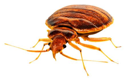 How Much Does Heat Treatment For Bed Bugs Cost Bed Bugs