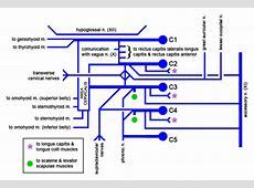 Cervical Plexus - Physiopedia Brachial Plexus Drawing