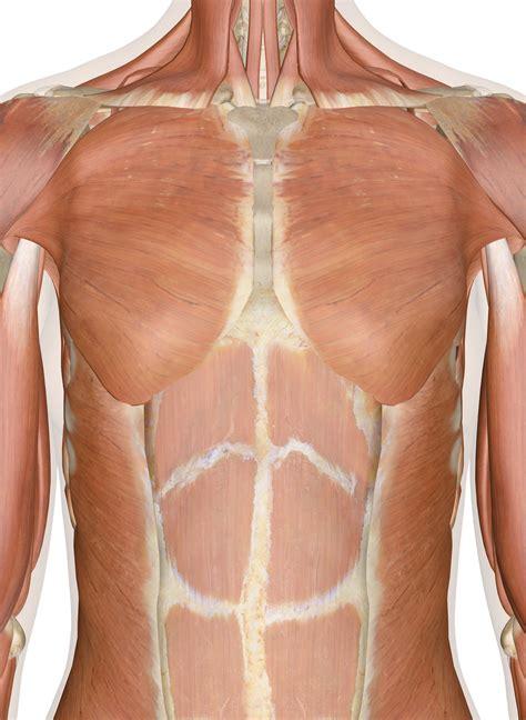 shoulder back anatomy gallery human anatomy learning