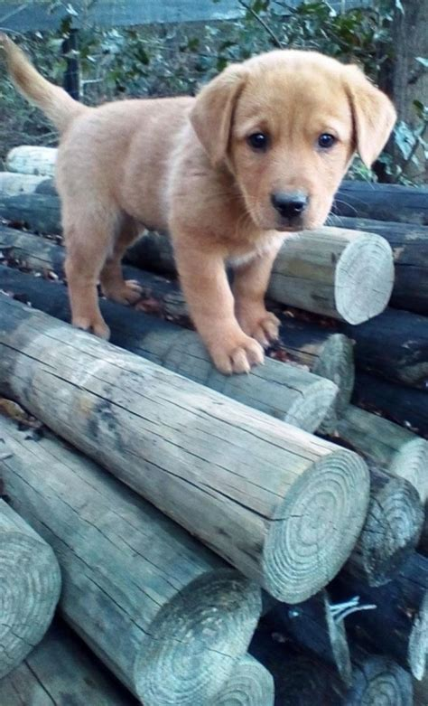 yellow lab and golden retriever 2017 delightful golden retriever yellow lab mix puppies puppies names pictures