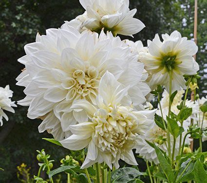 Dahlia White dahlia white perfection white flower farm