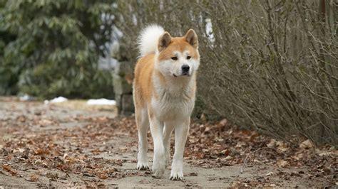 hachiko dog 1621359