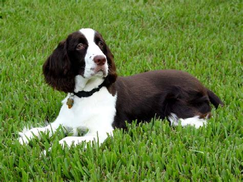 springer puppies springer spaniel puppies animals wiki pictures stories