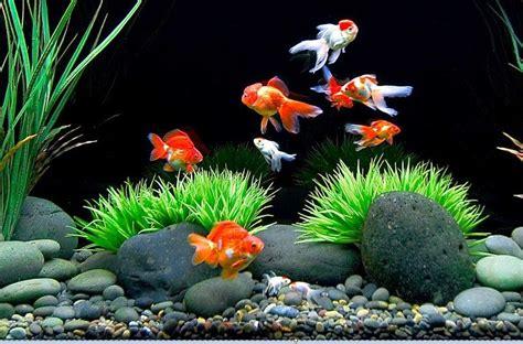 desain aquarium ikan koki cara desain hiasan aquarium untuk ikan koki yang baik dan