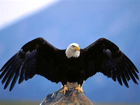 best eagle 768x1024 hd wallpapers