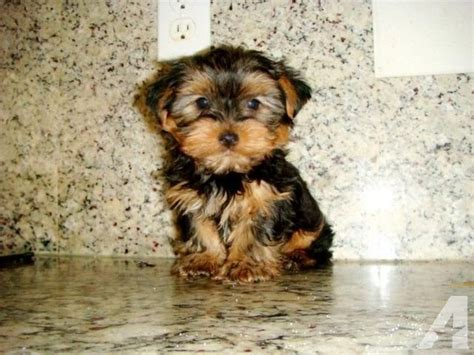 9 week yorkie puppy terrier yorkie puppy size baby doll 9 weeks for sale in san