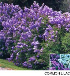 common flowering shrubs common lilac bush plants groundcovers landscaping