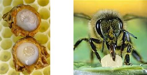 Bumble Bee Jelly royal jelly honey bee product information waikato domestic beekeepers association